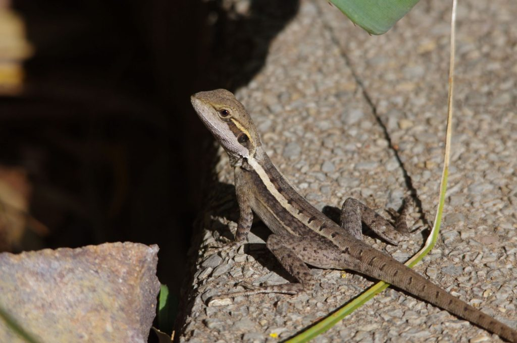 Gilbert's Dragon/Ta-ta Lizard, Northern Territory. Image: Cathy Cavallo