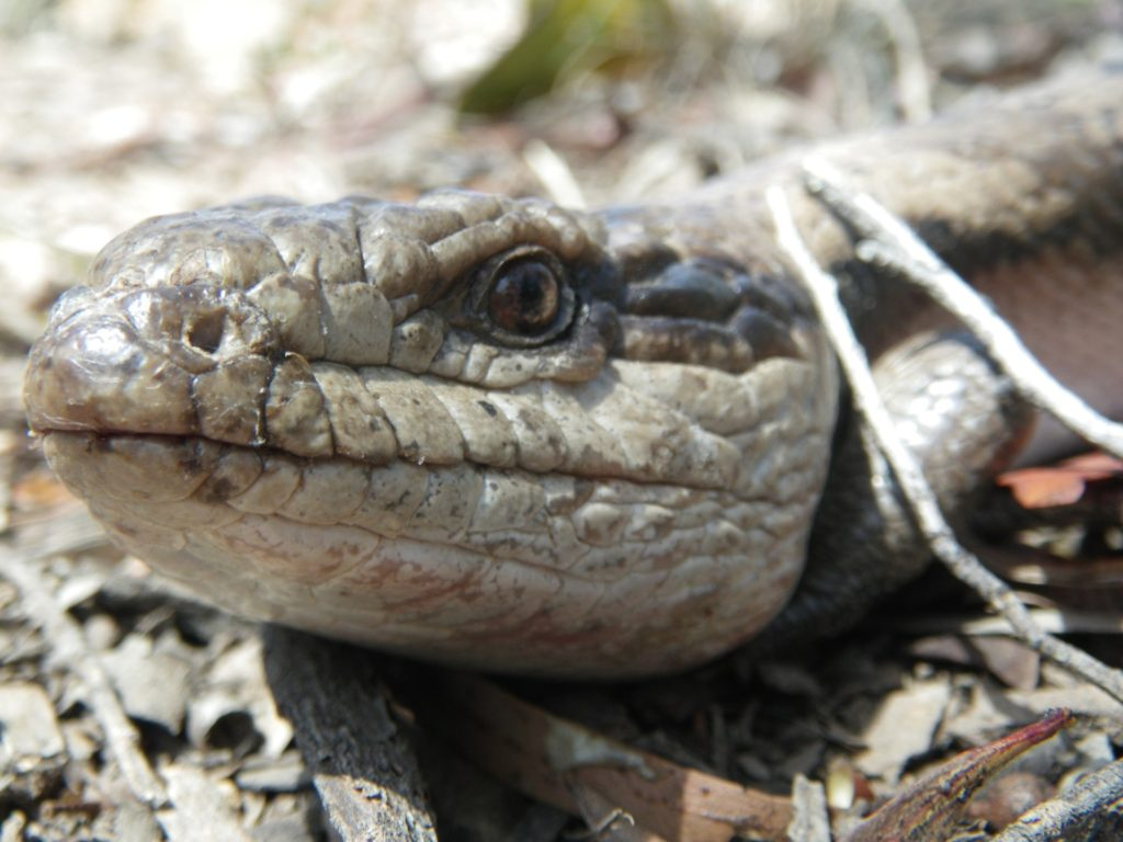 Eastern Blue-tongue - one of the larger garden species