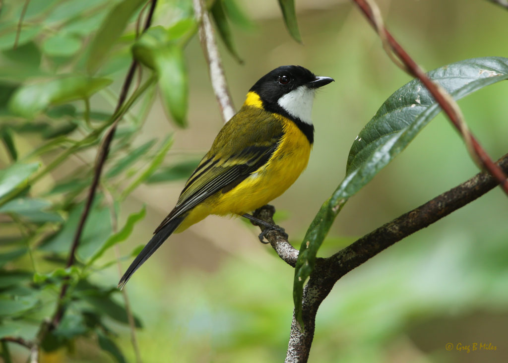 Species like the Golden Whistler are some of the last to appear in revegetated bushland after a fire, preferring open canopy vegetation.