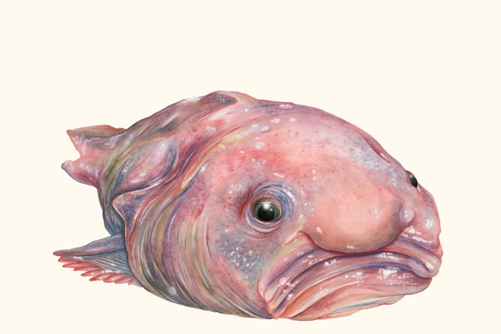 The aptly named blobfish