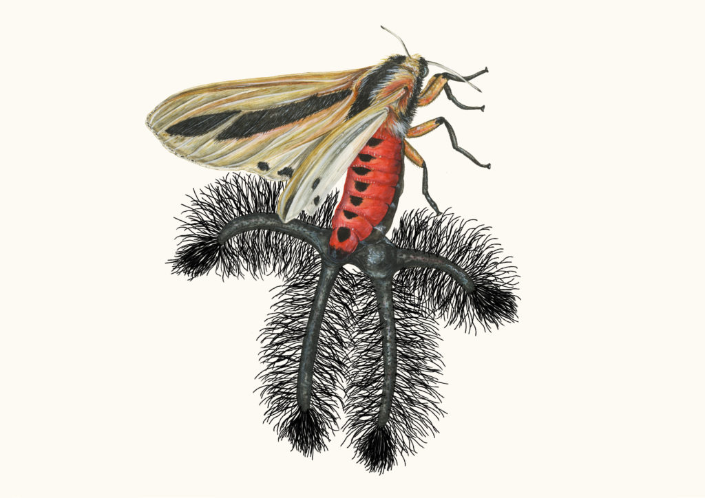 Creatonotos gangis is a species of moth that occurs over south Asia and Australia. The hairy tentacles pictured are only found on males, and usually retracted but pushed out during breeding season to assist with mating. Not enough is yet known about this species to evaluate its conservation status. Image provided by Sami Bayly.