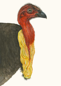 The Brush Turkey, with its red, hairless head