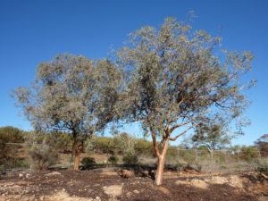 Eucalyptus campaspe, planted, Broken Hill, New South Wales