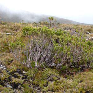 E. vernicosa Ironbound Range, Tas