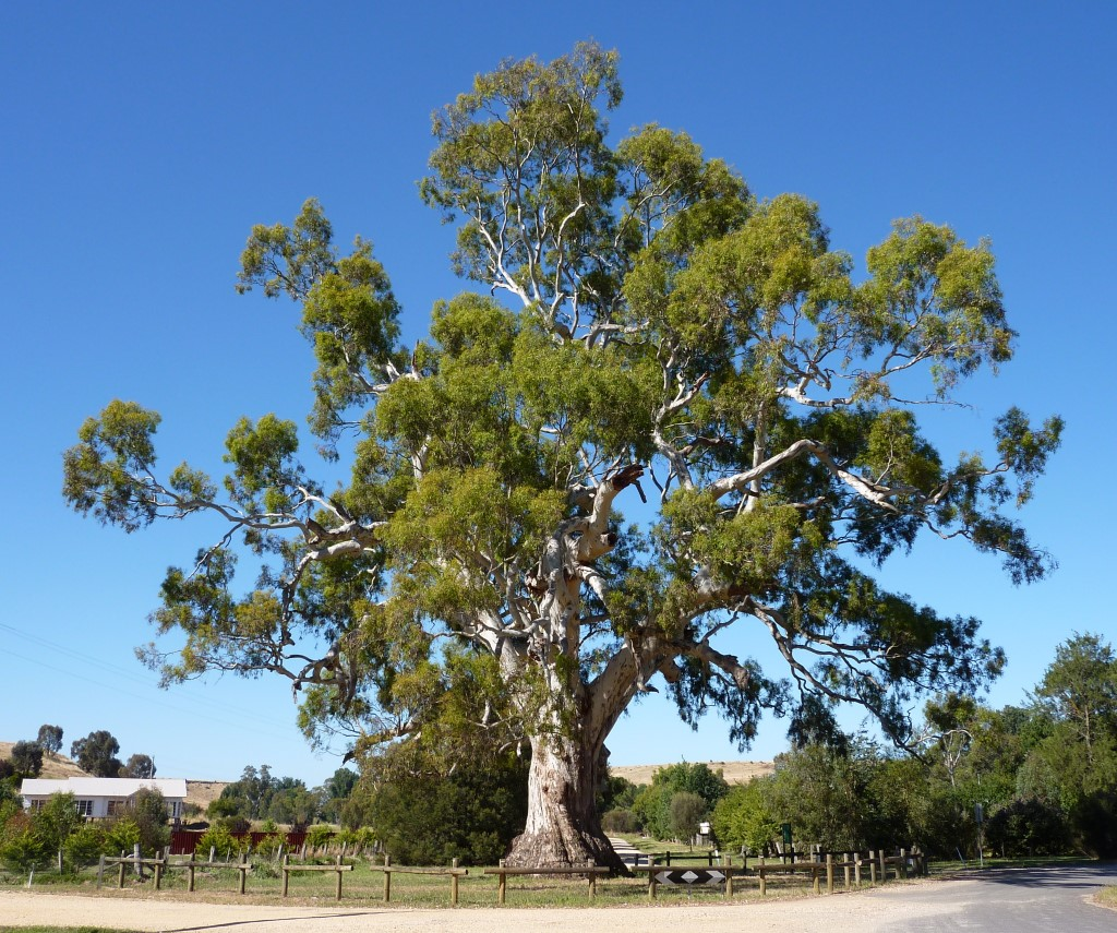 The Guildford Tree, an outstanding River Red Gum (Eucalyptus camaldulensis) in the town of Guildford, Victoria. The tree has borers, termites and much other biodiversity, but is healthy and has the potential to live for many more centuries.