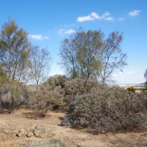 Planted eucalypts are buried treasure on rural properties
