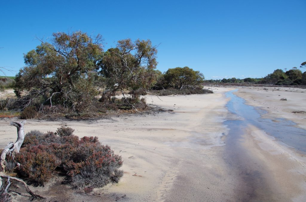 Eucalyptus onesia in a pure saline system with an amazing ecosystem under its canopy