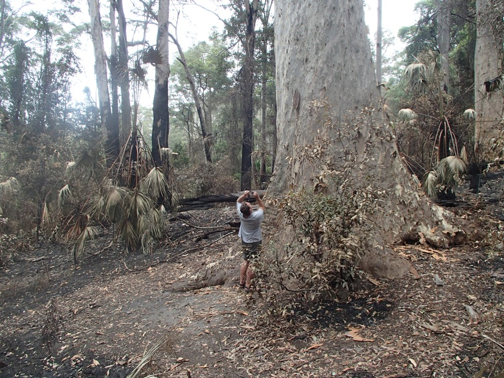 Old Blotchy, the largest Spotted Gum (Corymbia maculata) known, immediately following the December 2019 wildfires in Murramarang National Park, NSW. The tree barely burned, partly because of the bark and foliage characteristics of the species.
