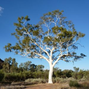 The Central Australian Ghost Gum (Corymbia aparrerinja), is also part of the eucalypt family. This is the famous Trephina Gorge Ghost Gum in the NT.