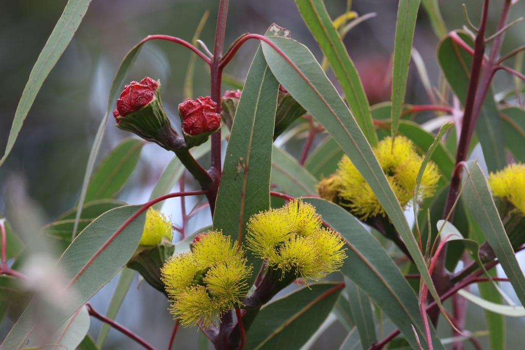 Eucalypt mythbusting: a comprehensive guide