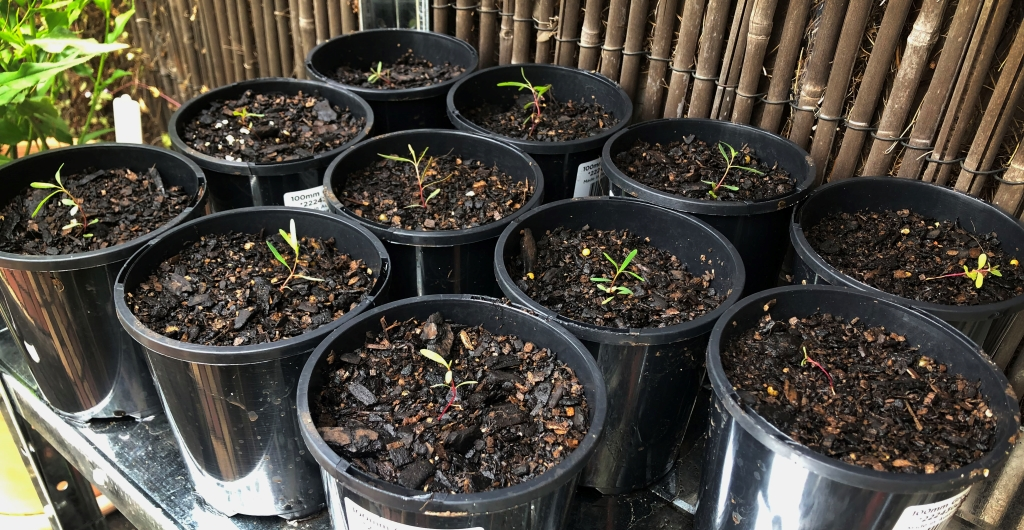 Michael's potted ironbark seedlings grown from collected nuts