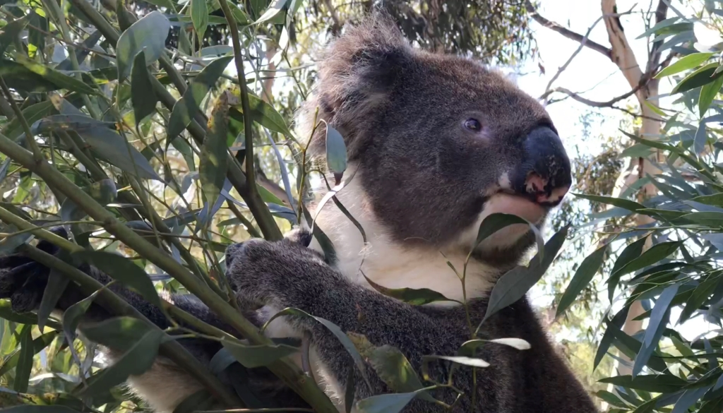 A Koala happily eating the leaves of the Western Australian species, Tall Sand Mallet (Eucalyptus eremophila). In the wild, Koalas and Tall Sand Mallet occur thousands of kilometres from one-another.