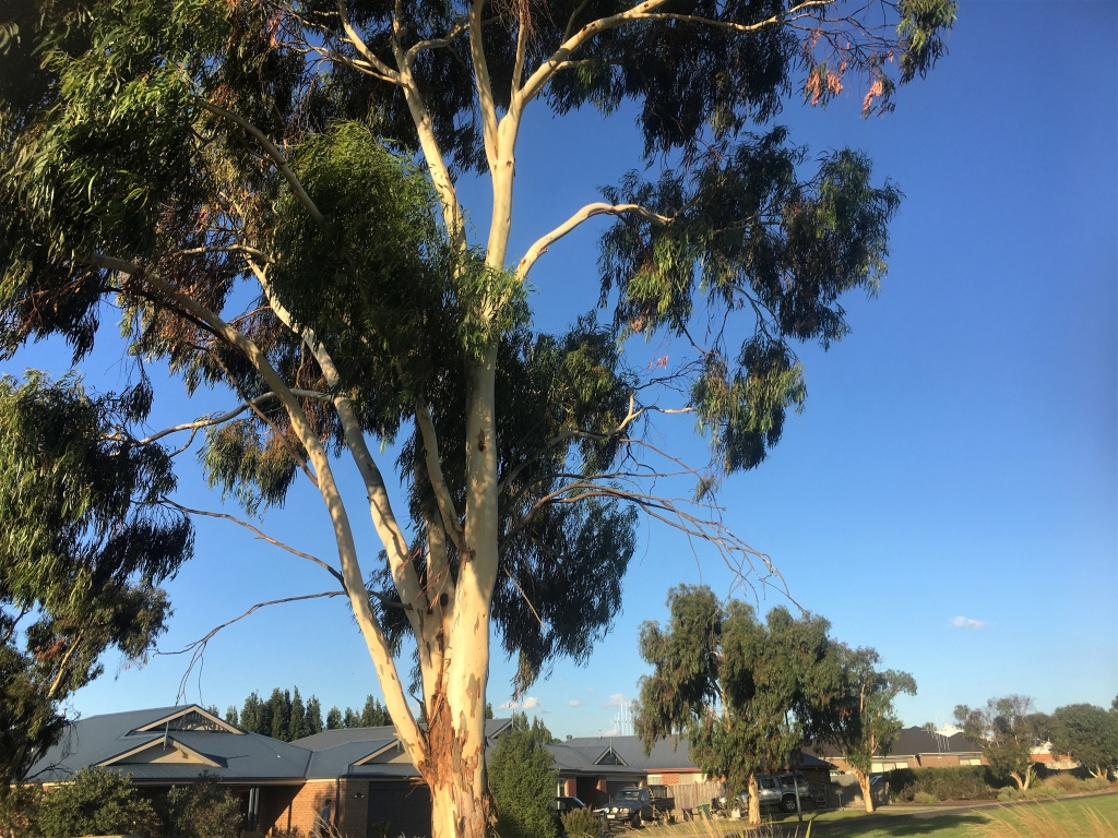 The Wallangarra white gum outside Sarah's house