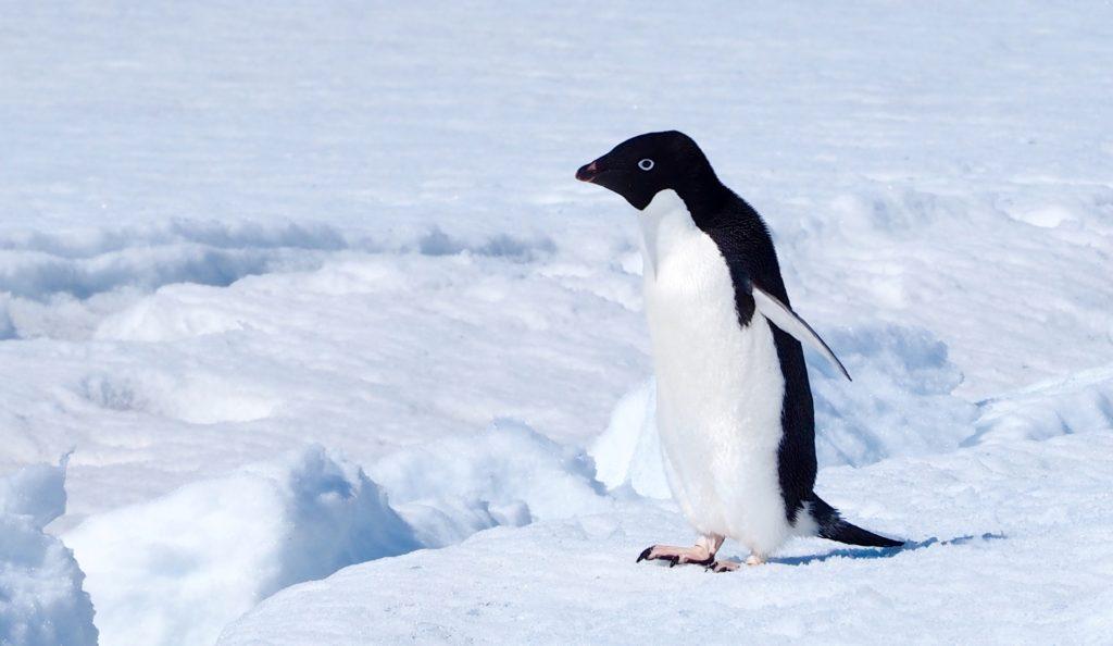 an Adelie Penguin at Tidecrack, Rookery Islands
