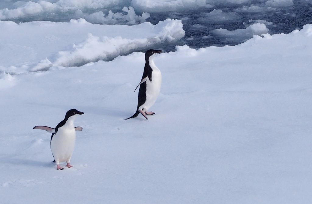 Two adelie penguins playing on the ice