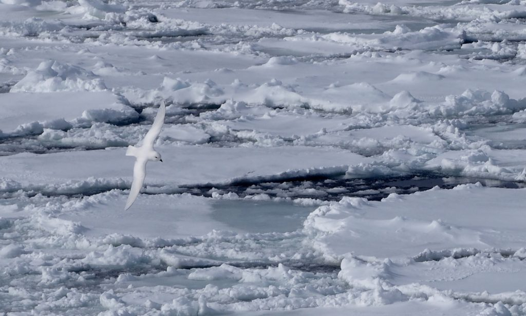 A snow petrel soaring low over the ice
