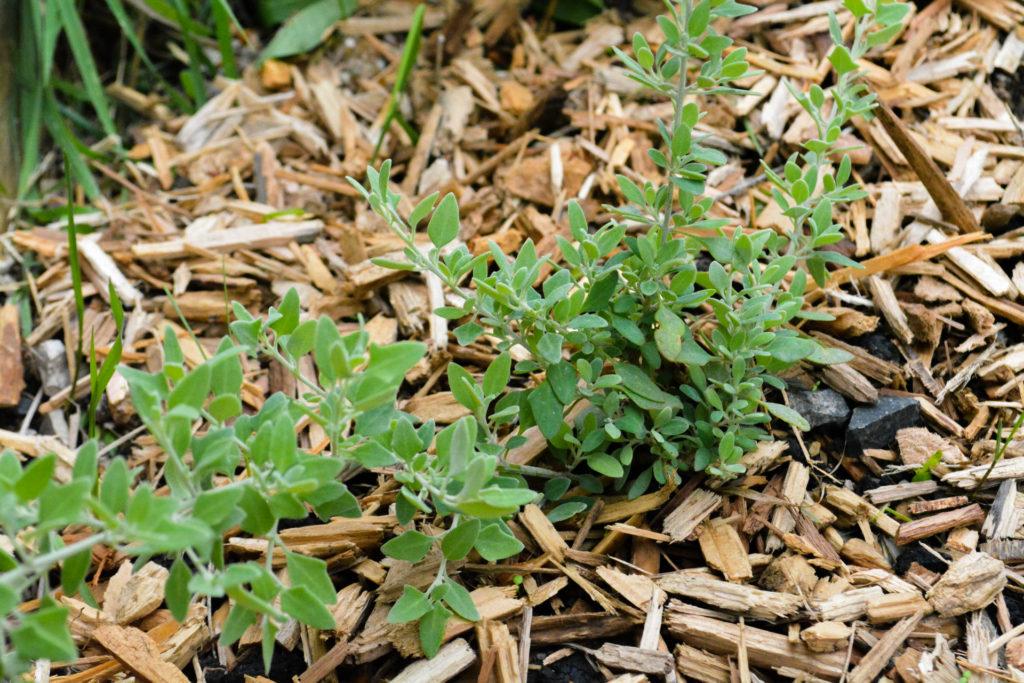 A saltbush plant helping suppress weeds in a wildlife garden