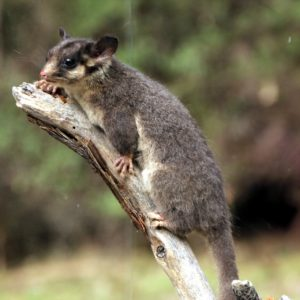 'Stag watching' for Fairy Possums is a special kind of magic
