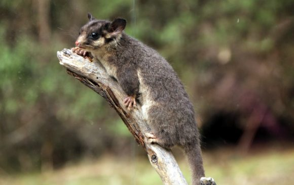 'Stag watching' for Fairy Possums a special kind of magic