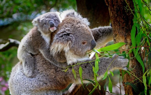 Assisted reproduction science could be a lifeline for koalas
