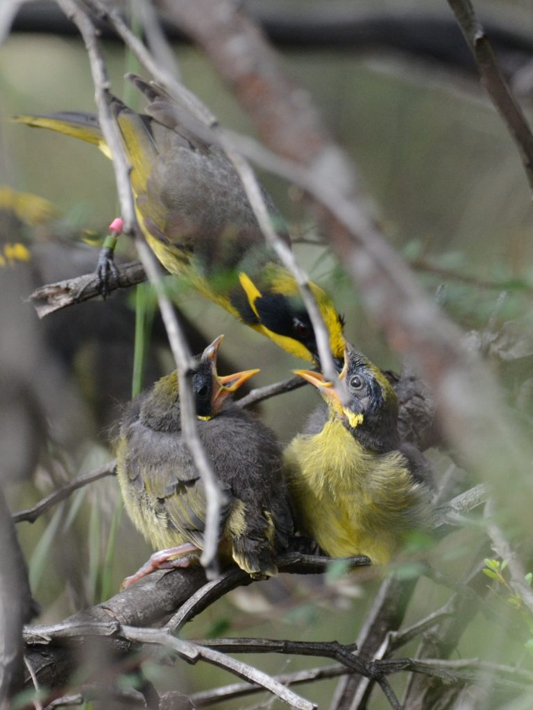 Feeding the young after successful breeding.