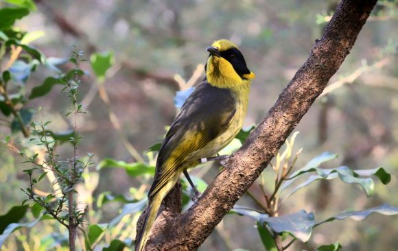 Genetic rescue could be key to saving the Helmeted Honeyeater