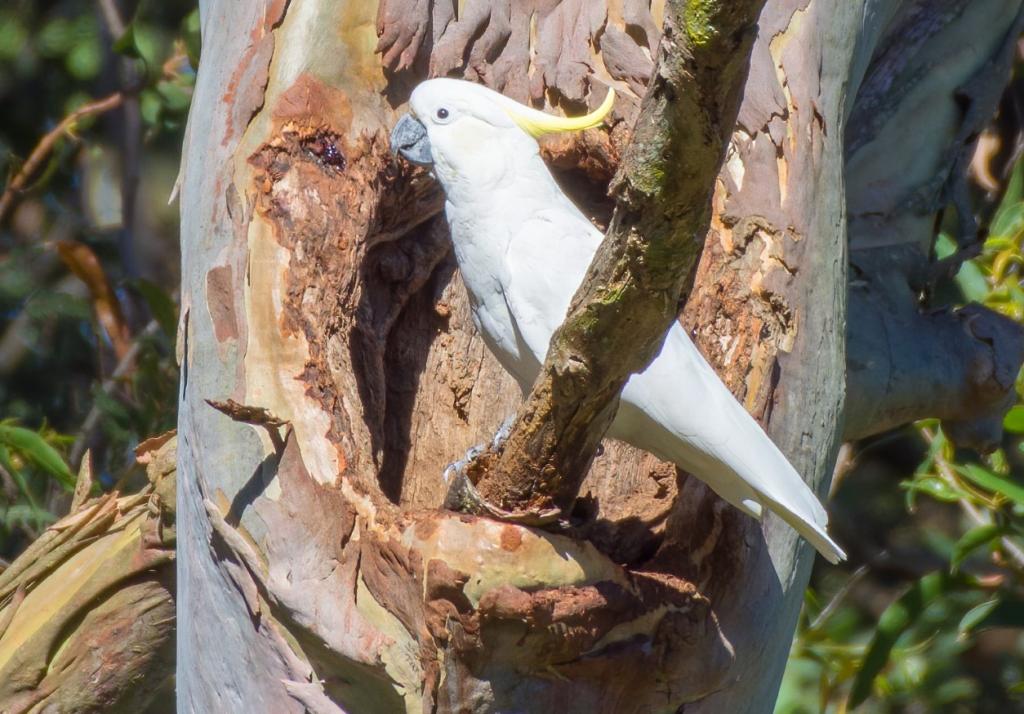 A Sulphur-crested Cockatoo utilising a naturally formed eucalypt hollow
