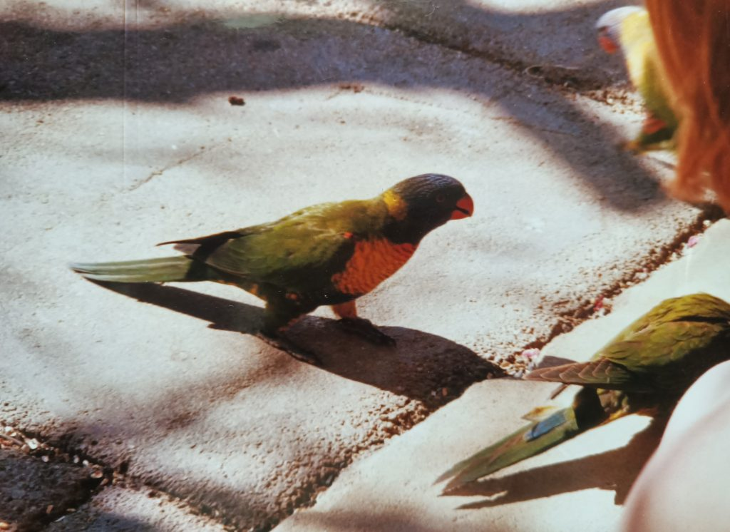 feeding rainbow lorikeets by hand as a teenager. My sister and I once emptied a two litre tub of bird seed in two days - oops!