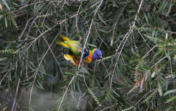 Bird week round-up: our team's favourite Aussie birds