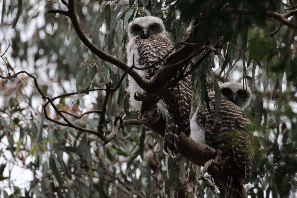 A cluster of Powerful Owl chicks Cathy managed to find and photograph last year. Image: Cathy Cavallo