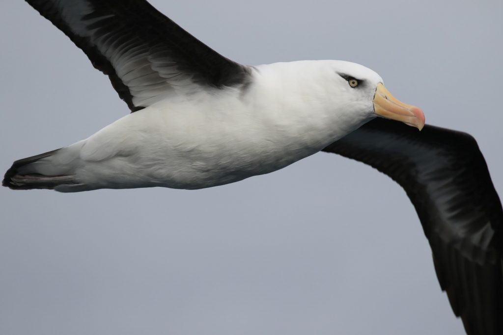A soaring Campbell Albatross. Image: Rowan Mott.