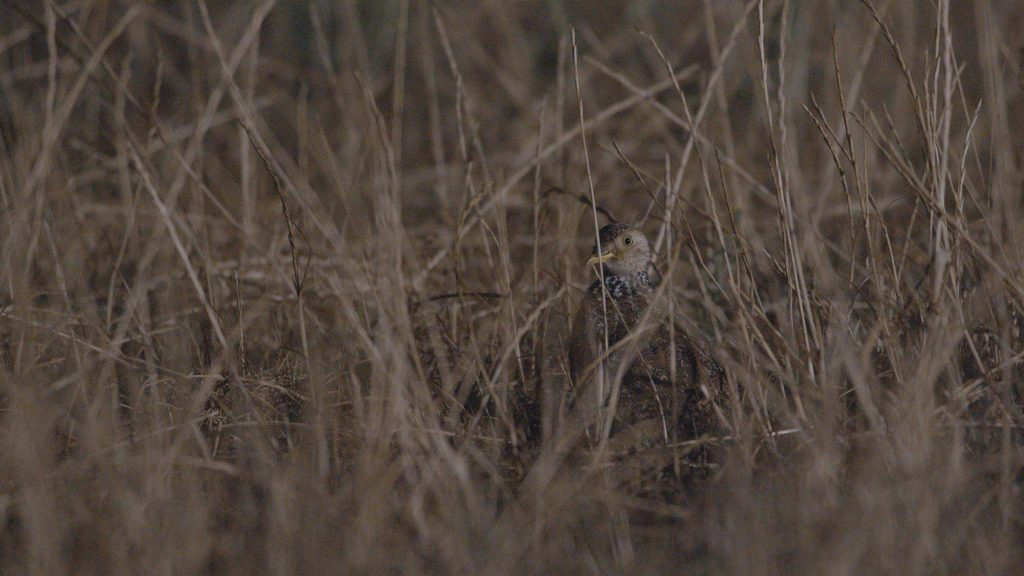 An elusive plains-wanderer poking its head up from among the grass.