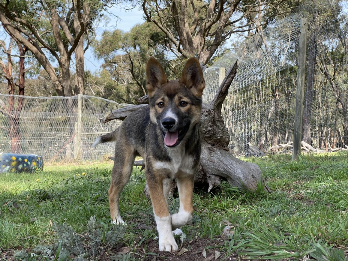 Hope for dingoes at the Dingo Discovery Centre