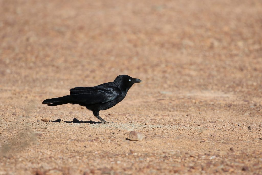 Little Crow in Coober Pedy, South Australia. Image: Cathy Cavallo.