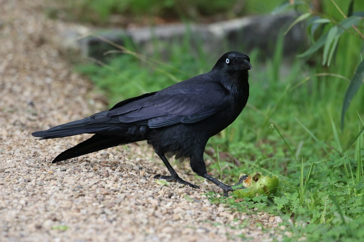 6 reasons to be raven about corvids