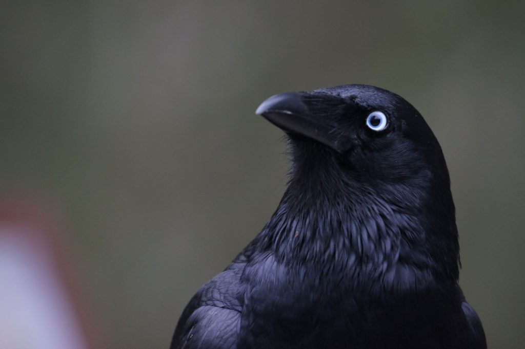 A Little Raven with its expressive, intelligent eye and fine neck feathers