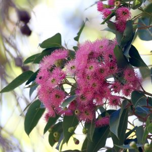 Need help picking your Eucalypt of the Year? Maybe our Eucalypt Champions can help!