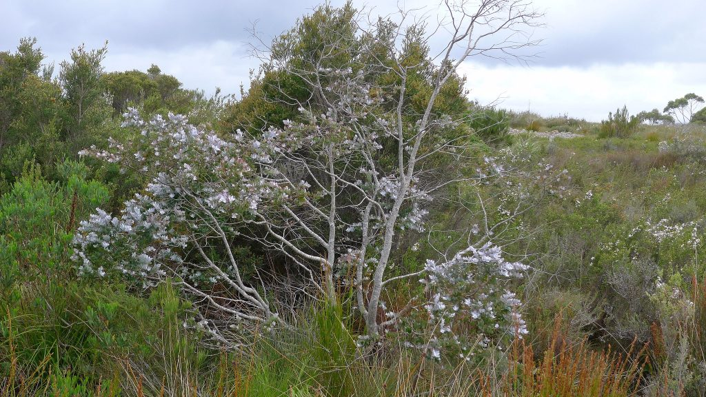 The Silver Gum, a small and stunning decorative tree. The foliage of the Silver Gum is prized in flower arrangements.