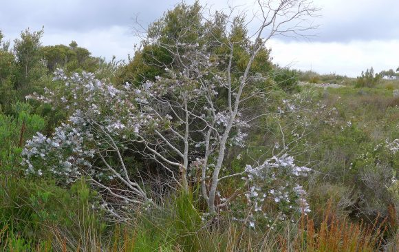Gardens and farms for gum trees: saving our threatened eucalypts one property at a time