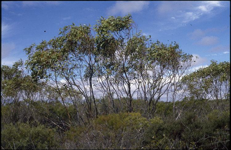 Badgingarra Box (Eucalyptus absita) is a great backyard shade tree for the Western Australian heat