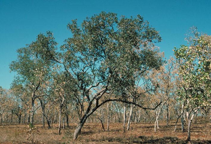 Koolpin Box (Eucalyptus koolpinensis) is a great hardy, waterwise tree for larger gardens. Image: Ian Brooker and David Kleinig, via Wikimedia Commons.