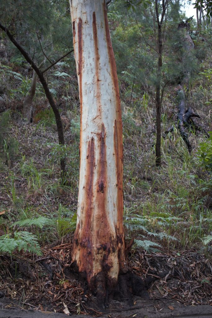Scribbly gum trunk showing its messy tendancies- with its bark strewn across the forest floor