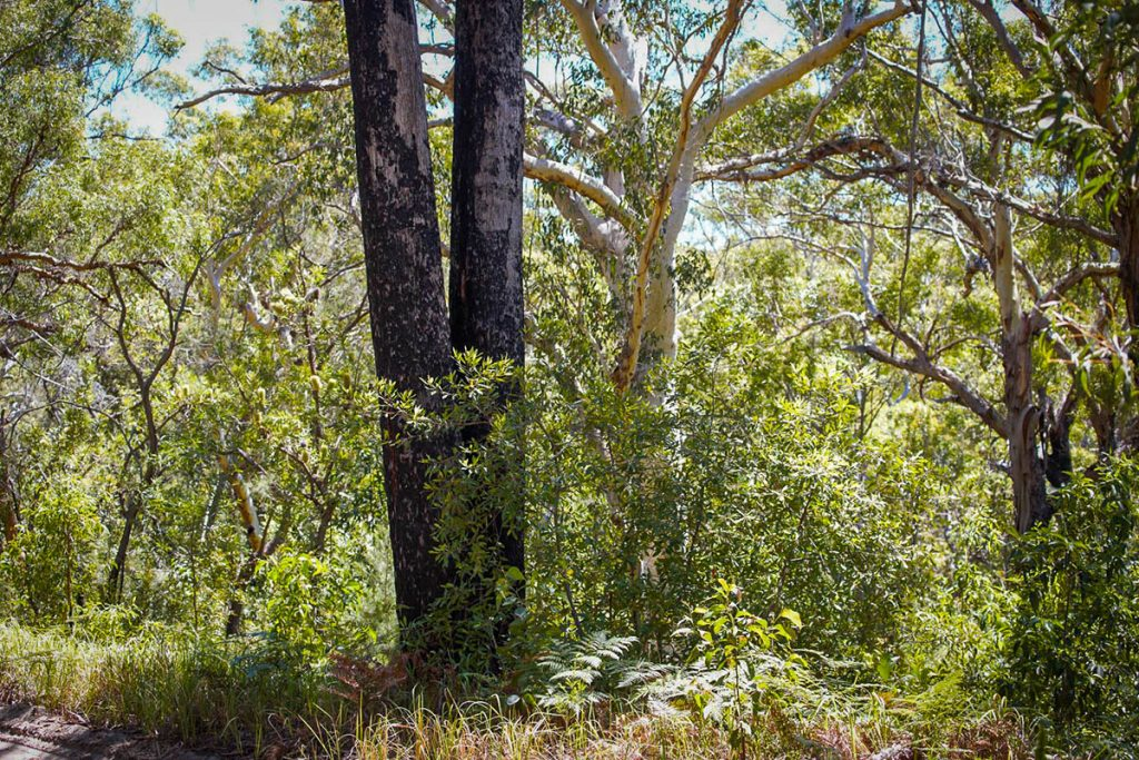 The blackbutt and scribbly gum side by side on k'gari