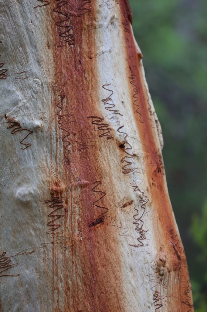 Scribble patterns in the bark of the scribbly gum tree, from tunnelling caterpillars