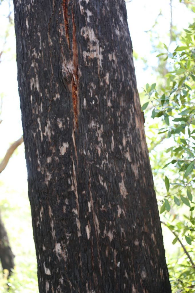 Blackbutt bark trunks are seemingly perfect- it looks like a strong tree should look like on the surface.