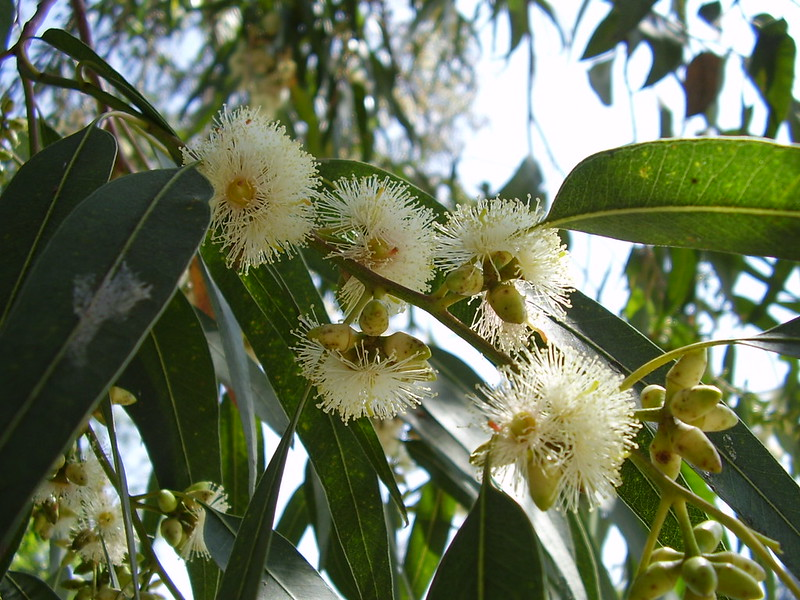The flowers of a blue gum (Eucalyptus globulus), the primary source of genuine eucalyptus oil worldwide. Image is courtesy of Joan Simon from Flickr.