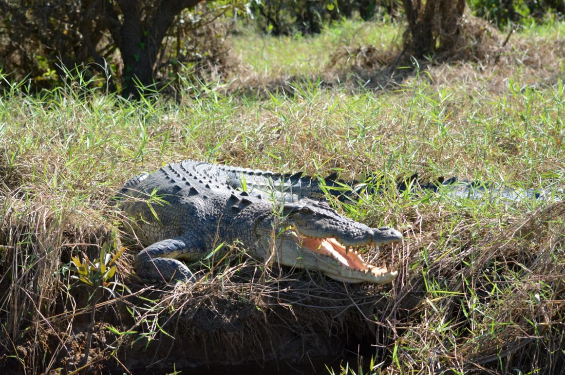 A saltwater crocodile resting on the bank of a billabong