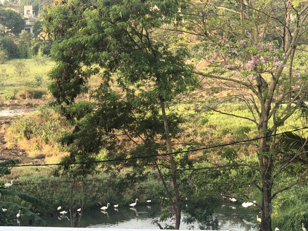 Little Egrets in amazing numbers in this Sri Lankan canal