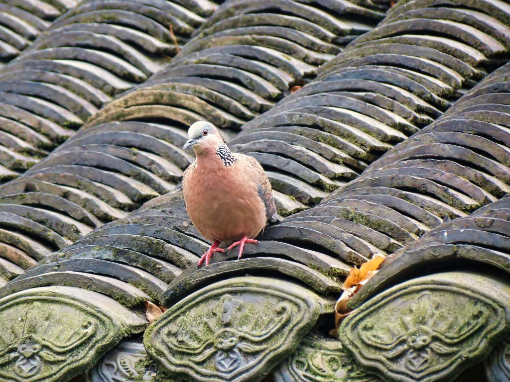 spotted dove on a rooftop. Image by Aardwolf6886 via Flickr