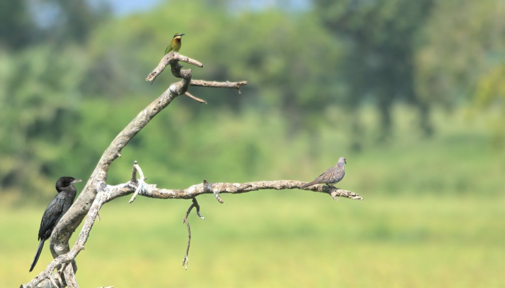 A spotted dove, Indian Bee-eater and black cormorant all resting on the same branch in a Sri Lankan wetland. Image by Aardwolf6886 via Flickr.